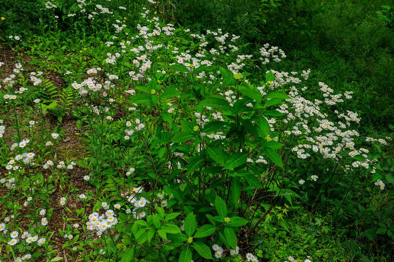 大原菊と春の花咲く三千院_f0155048_21583367.jpg
