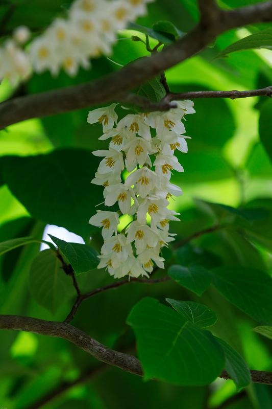 大原菊と春の花咲く三千院_f0155048_21591331.jpg