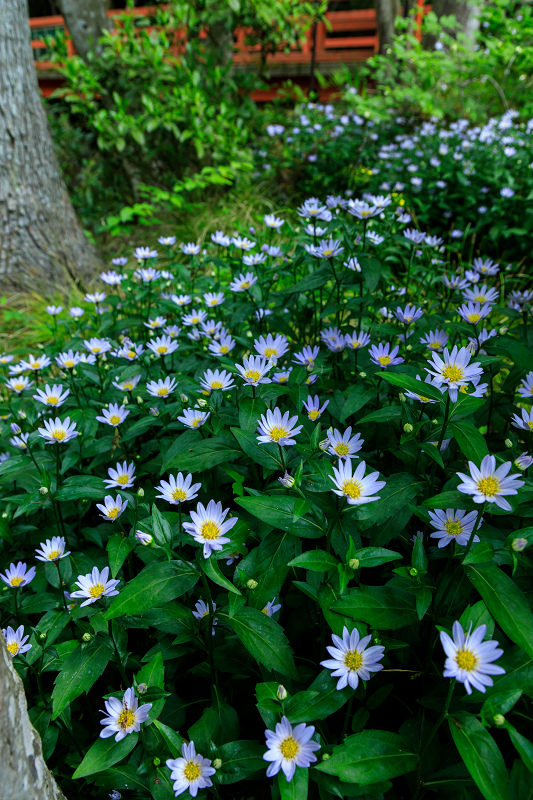 大原菊と春の花咲く三千院_f0155048_21594229.jpg