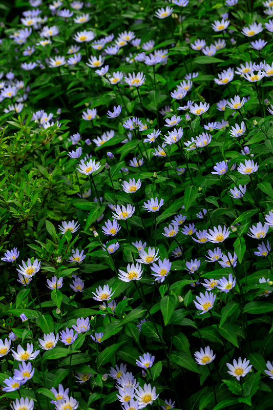大原菊と春の花咲く三千院_f0155048_2202127.jpg
