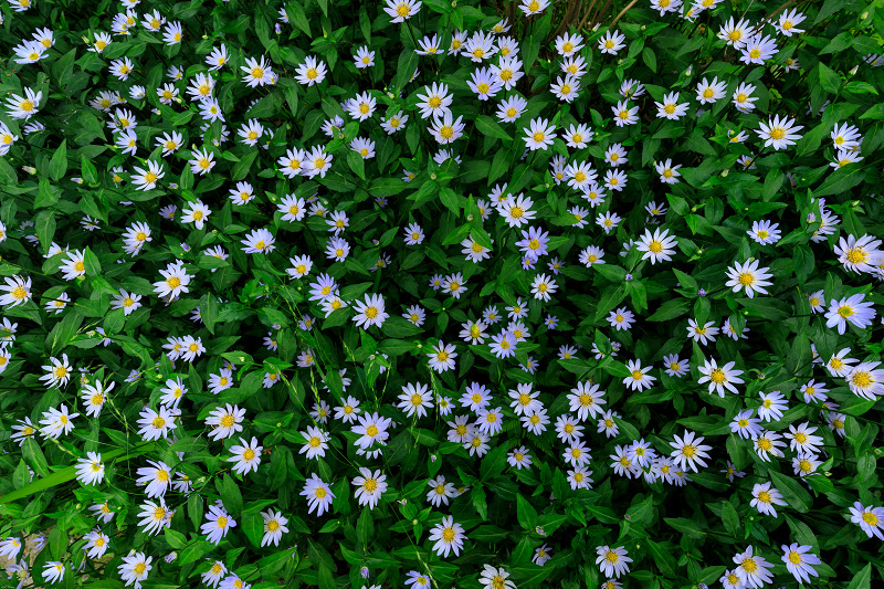 大原菊と春の花咲く三千院_f0155048_2203433.jpg