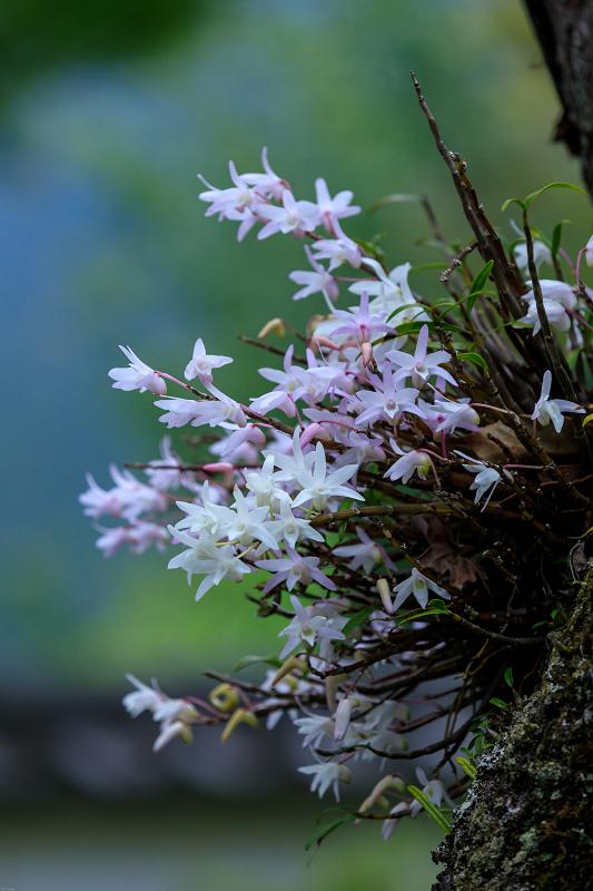 大原菊と春の花咲く三千院_f0155048_2205218.jpg