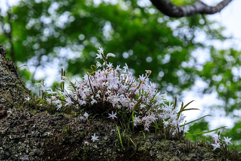 大原菊と春の花咲く三千院_f0155048_221089.jpg