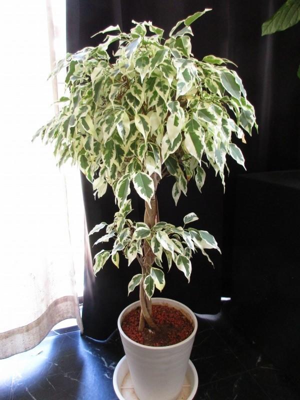 植物「ベンジャミンたち」_b0362459_13292789.jpg