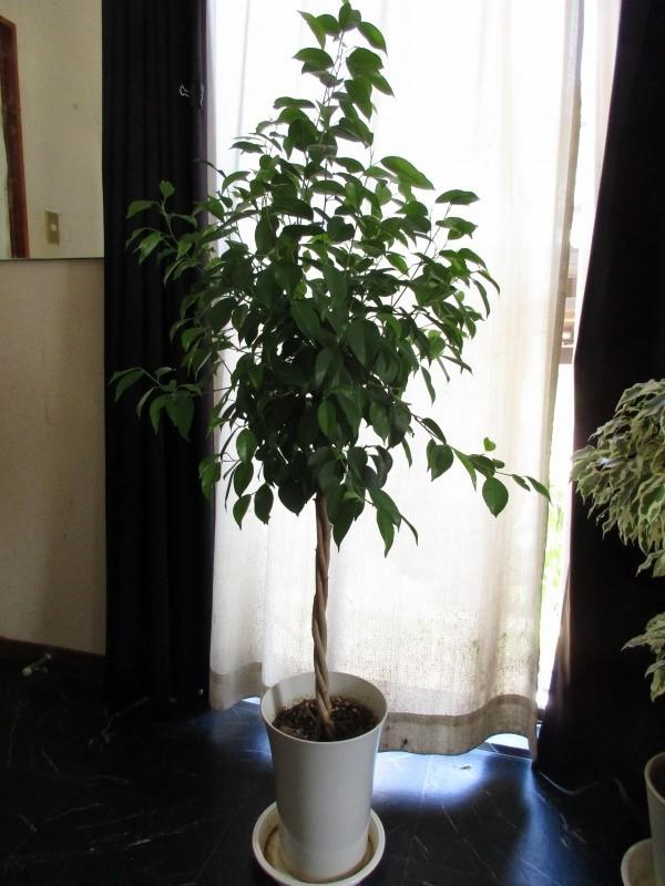 植物「ベンジャミンたち」_b0362459_13331084.jpg