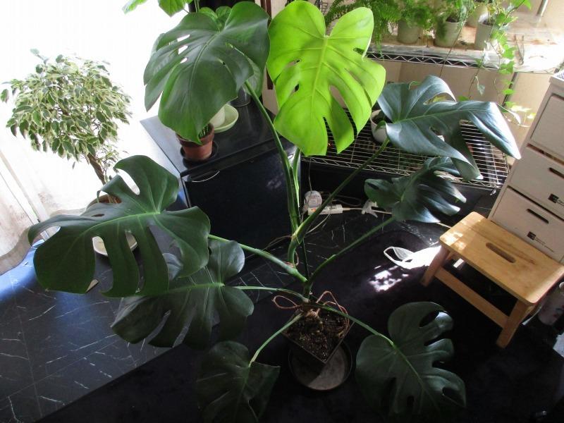 植物「ベンジャミンたち」_b0362459_13441181.jpg