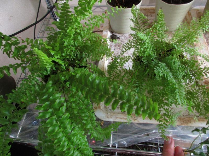植物「ベンジャミンたち」_b0362459_13532687.jpg
