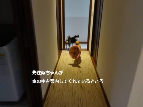 柴っこヒメちゃん、新生活スタート!_f0242002_16143304.jpg