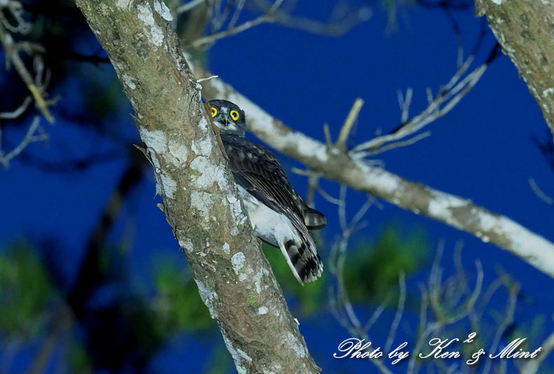南の島3日目の夜♪「リュウキュウアオバズク」&「リュウキュウコノハズク」さん♪_e0218518_11453280.jpg