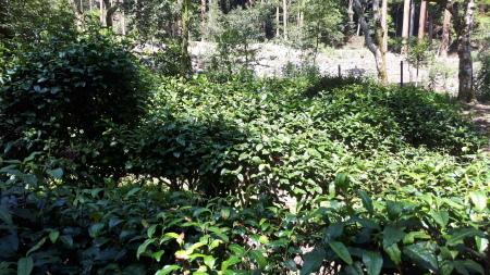 日本最古の茶畑_d0106134_06284070.jpg