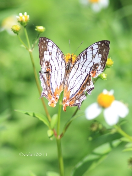 沖縄 出会った生き物たち ~野鳥と猫と蝶々と~_e0227942_21342627.jpg