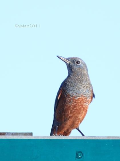 沖縄 出会った生き物たち ~野鳥と猫と蝶々と~_e0227942_21353302.jpg