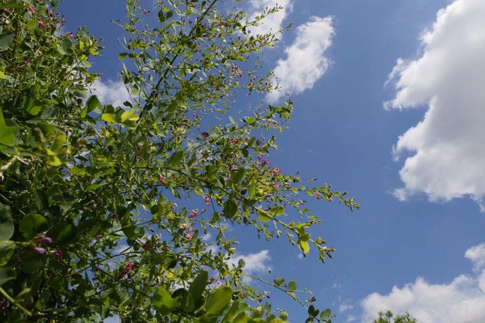 萩に集まる蝶_d0149245_12444548.jpg