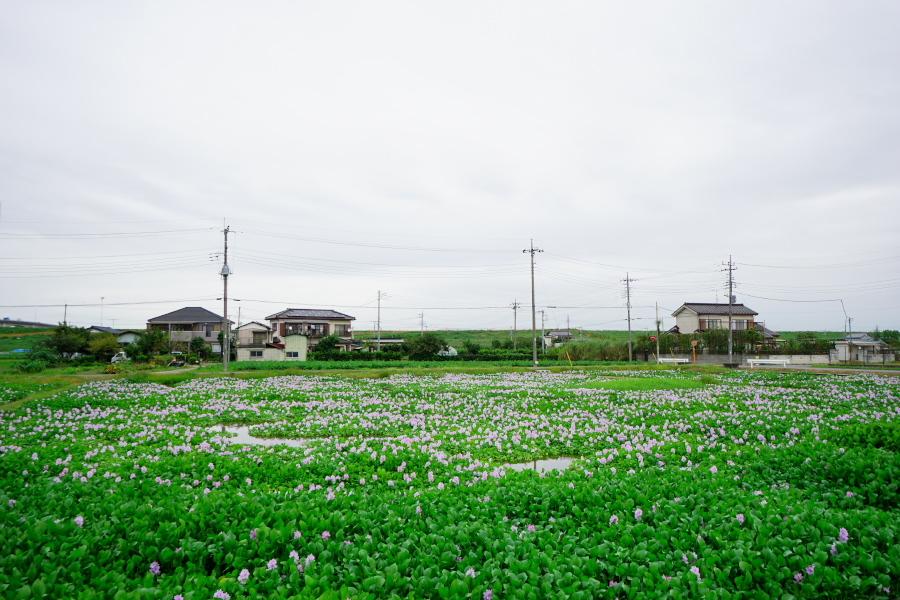 加須市 道の駅「童謡のふる里おおとね」のホテイアオイ2_a0263109_19423541.jpg