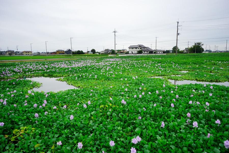 加須市 道の駅「童謡のふる里おおとね」のホテイアオイ2_a0263109_19423640.jpg