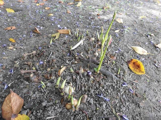 猛暑と少雨が響いている? 滝川のヒガンバナは、開花に向けた成長が遅れ気味!_f0141310_07215804.jpg