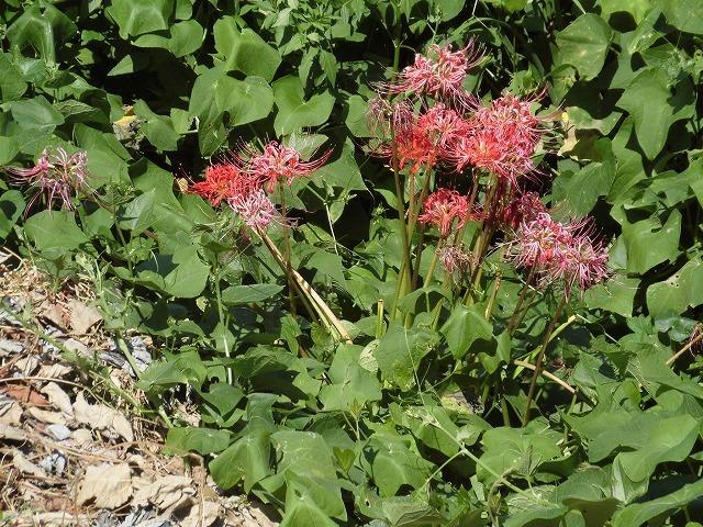 猛暑と少雨が響いている? 滝川のヒガンバナは、開花に向けた成長が遅れ気味!_f0141310_07223637.jpg