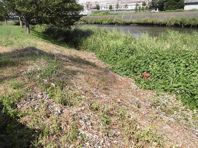 猛暑と少雨が響いている? 滝川のヒガンバナは、開花に向けた成長が遅れ気味!_f0141310_07224356.jpg