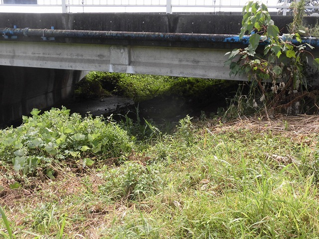 猛暑と少雨が響いている? 滝川のヒガンバナは、開花に向けた成長が遅れ気味!_f0141310_07232174.jpg