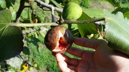 収穫 自然栽培の野菜から果物まで_f0208315_09165176.jpg