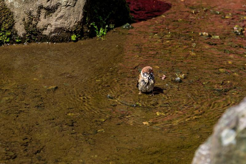 サツキ咲く曲水の庭(松尾大社)_f0155048_091221.jpg