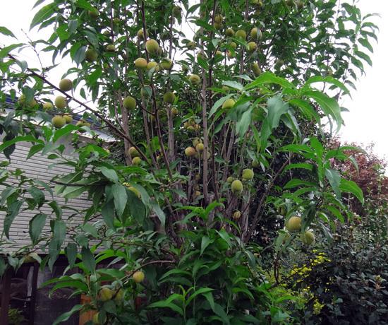 仙人草、花桃の実、ニラの花など♪_a0136293_16055791.jpg
