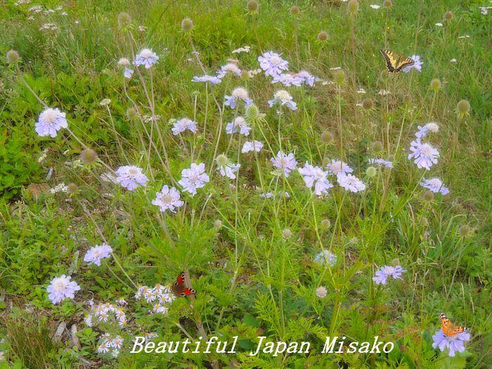 マツムシソウの咲く頃って・・・・゚☆、・:`☆・・゚・゚☆。。_c0067206_17425351.jpg