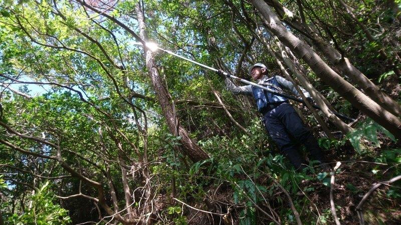 秋ミョウガの収穫と松がれ樹木の伐採_c0239329_14015935.jpg