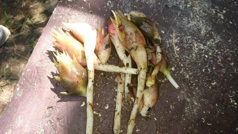 秋ミョウガの収穫と松がれ樹木の伐採_c0239329_14015936.jpg