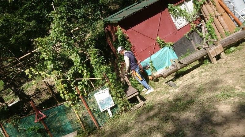 秋ミョウガの収穫と松がれ樹木の伐採_c0239329_14020226.jpg