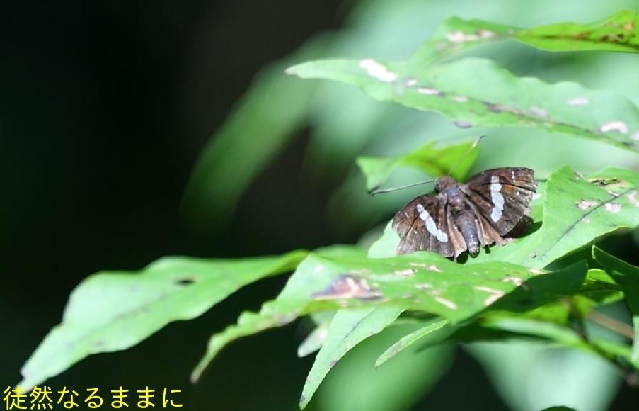 クロセセリ・サカハチチョウ夏型  in徳島_d0285540_21262846.jpg