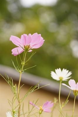 昭和記念公園のコスモスまつり_b0221643_23113300.jpg