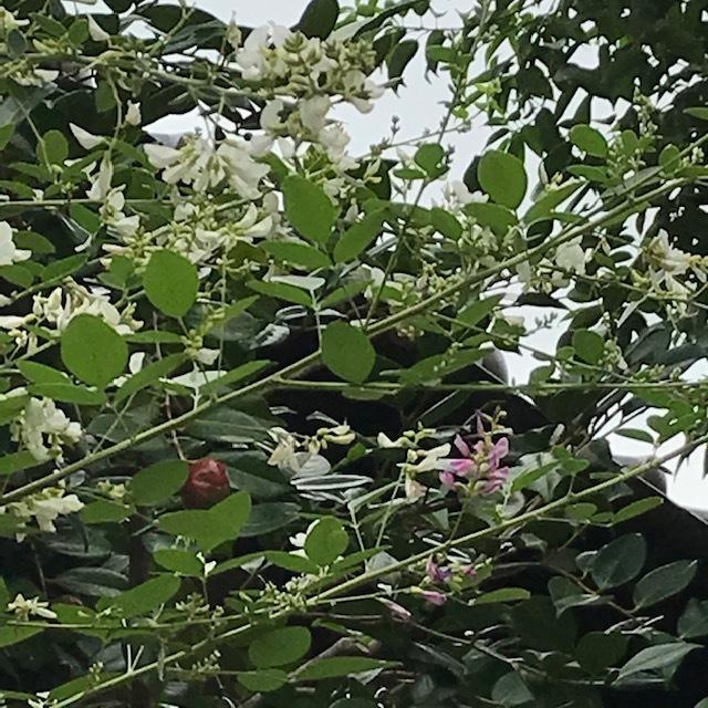 萩の花_e0226943_22402693.jpg