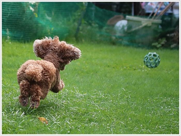 今夜も、庭で遊ぶさくらと大&家ごはん&カボスのスノーボールと盛りだくさん??(*⌒∇⌒*)テヘ♪_b0175688_19533741.jpg