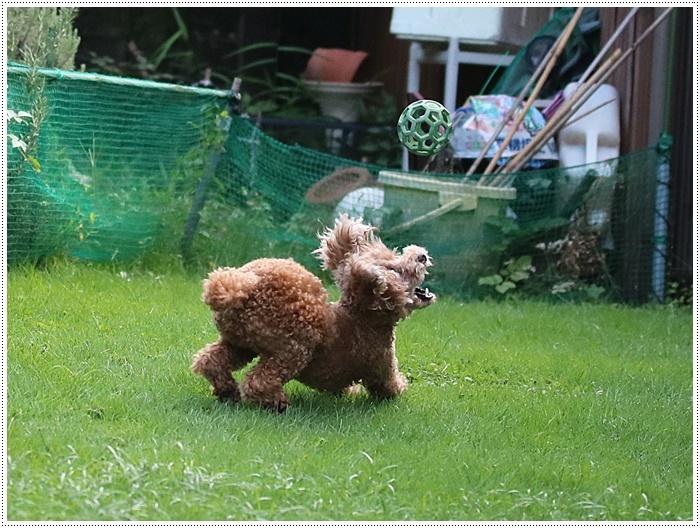 今夜も、庭で遊ぶさくらと大&家ごはん&カボスのスノーボールと盛りだくさん??(*⌒∇⌒*)テヘ♪_b0175688_19534091.jpg