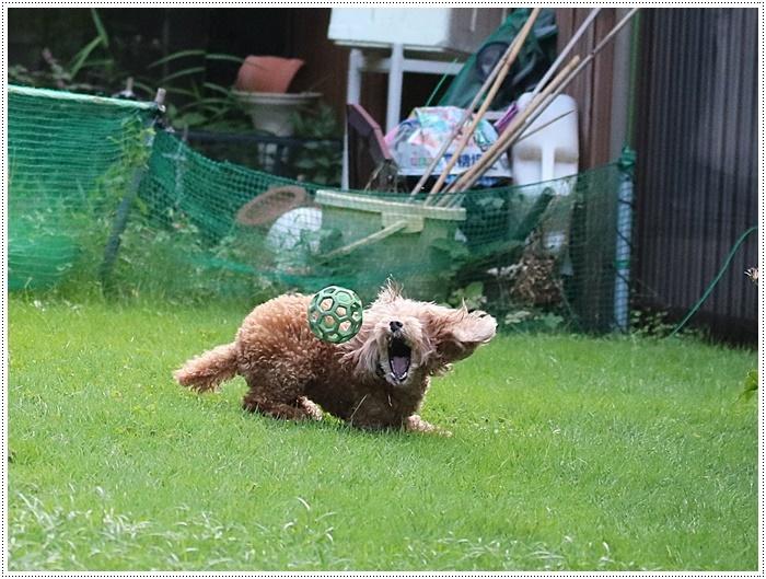 今夜も、庭で遊ぶさくらと大&家ごはん&カボスのスノーボールと盛りだくさん??(*⌒∇⌒*)テヘ♪_b0175688_19534316.jpg