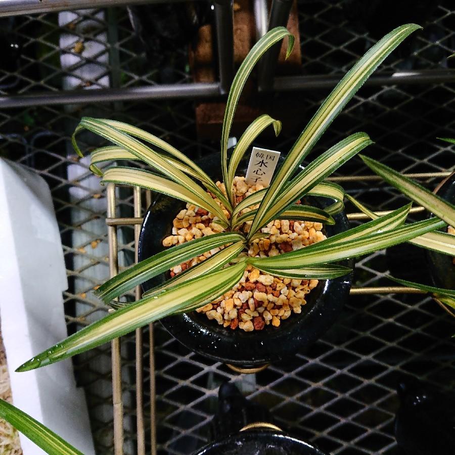 毎日のように春蘭の植え替え_f0356792_18354915.jpg