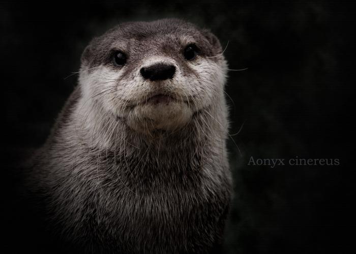 コツメカワウソ:Asian Short-clawed otter_b0249597_06144058.jpg