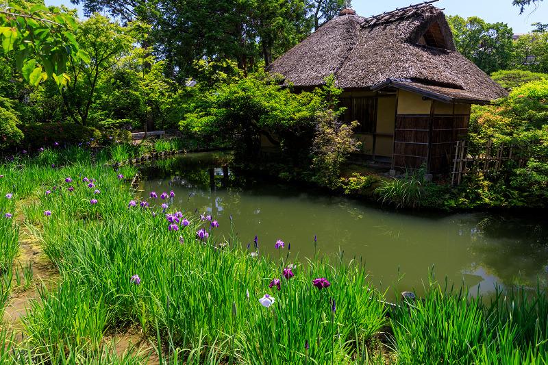 花菖蒲とサツキ(梅宮大社)_f0155048_23342584.jpg