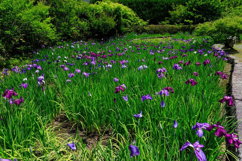 花菖蒲とサツキ(梅宮大社)_f0155048_23362523.jpg