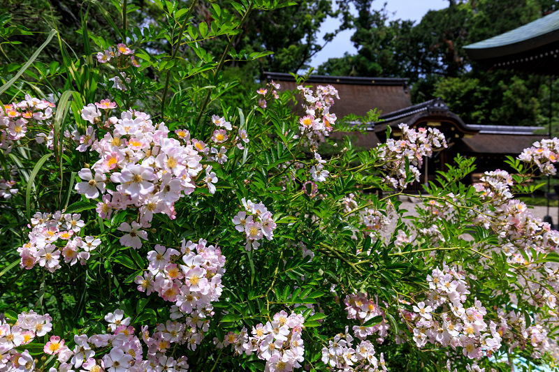 花菖蒲とサツキ(梅宮大社)_f0155048_23382458.jpg