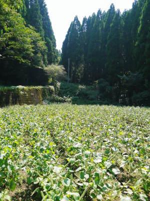 「菊池水源産エゴマ」 白エゴマは花から実へ!黒エゴマ土寄せを施し元気に成長中!_a0254656_17180628.jpg