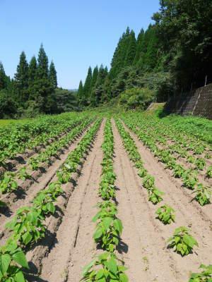 「菊池水源産エゴマ」 白エゴマは花から実へ!黒エゴマ土寄せを施し元気に成長中!_a0254656_17380240.jpg
