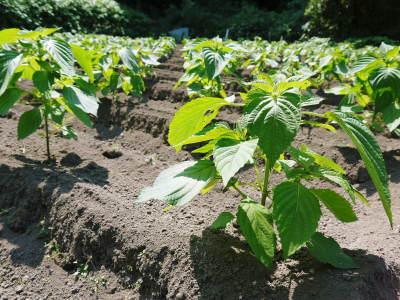 「菊池水源産エゴマ」 白エゴマは花から実へ!黒エゴマ土寄せを施し元気に成長中!_a0254656_17414989.jpg