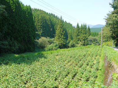 「菊池水源産エゴマ」 白エゴマは花から実へ!黒エゴマ土寄せを施し元気に成長中!_a0254656_17471575.jpg