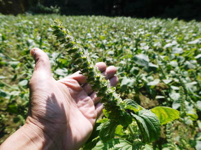 「菊池水源産エゴマ」 白エゴマは花から実へ!黒エゴマ土寄せを施し元気に成長中!_a0254656_17493179.jpg