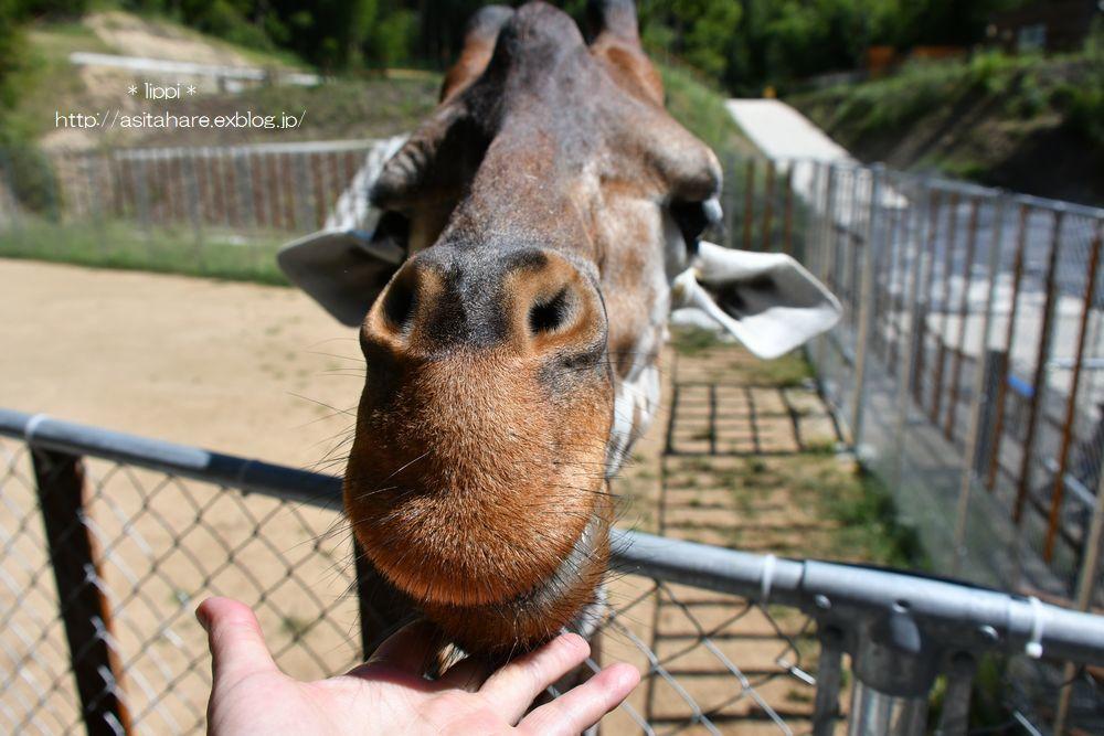 キリンのいる動物園が増えたので会いに行きました。_b0024758_21534963.jpg