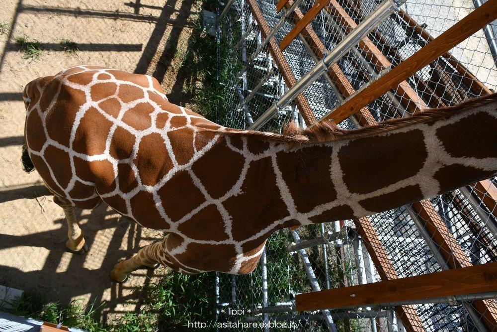 キリンのいる動物園が増えたので会いに行きました。_b0024758_21535855.jpg
