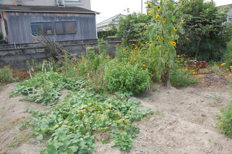 サツマイモ掘り・・・我が家の農園_c0108460_16195758.jpg
