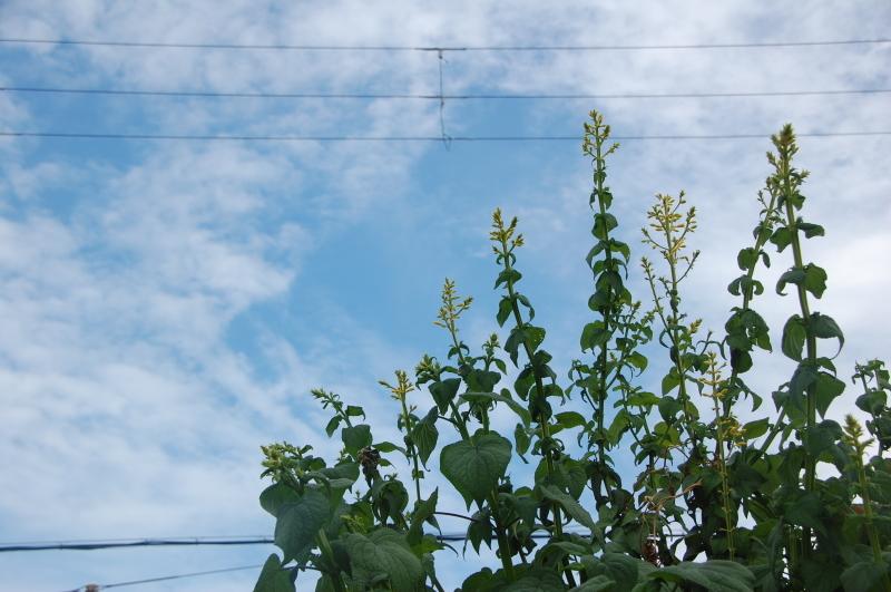 サツマイモ掘り・・・我が家の農園_c0108460_16211132.jpg